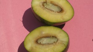 アフリカマンゴノキの果実画像