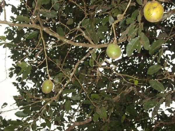 ない コウカ 副作用 マンゴ アフリカ ノキ