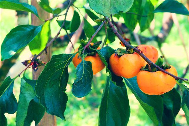 木になった柿の画像