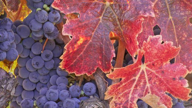 ブドウと赤い葉の画像