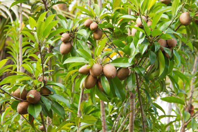 ターミナリアベリリカの果実と樹木の画像1